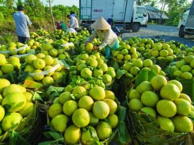 """Sản xuất trái cây hướng đến các thị trường """"khó tính"""""""